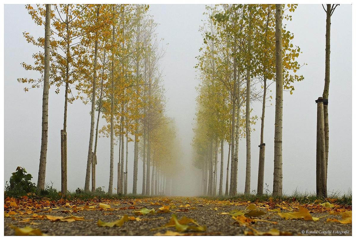 Rij bomen in de mist