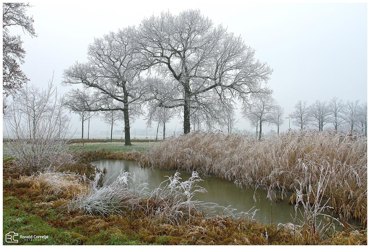 Bomen, sloot en riet in winters landschap